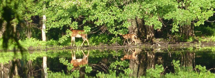 Deer on riverbank